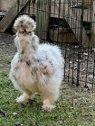 6 Show Quality Fertile Silkie Chicken Hatching Eggs - All Colors :)