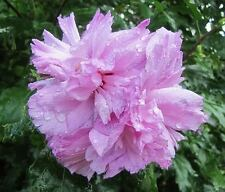 50 LIGHT PINK DOUBLE ROSE OF SHARON HIBISCUS Syriacus Flower Tree Bush Seeds
