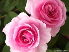 "Englische Austin Rose ""Gertrude Jekyll""® intensiv duftend 7 L Container"
