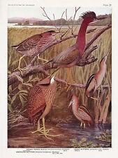 1936 Shore Bird Art Green Heron American & Least Bittern Louis A. Fuertes -Egret