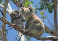A1 Koala Bear Australia Wall Art Poster Print 60x90cm 180gsm Wildlife Gift#15832