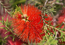 Robin Red Breast Seed Frost Hardy Native Red Flowers - Melaleuca laterita