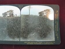 Stereoview H C White Co Perfec Stereograph 21052 Habit Vervain Family Hyssop (O)