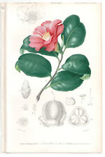 1849 Original Botanique Imprimé camélia japonica par Ch. Orbigny, atlas volume 3