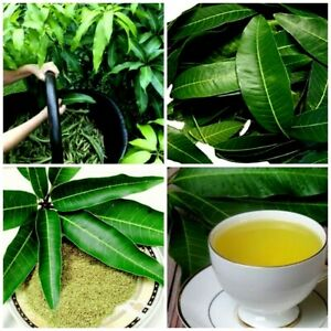 Dried Mango Leaves 100% Pure Organic Fresh Natural Leaf Powder 50g herbal Tea.