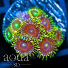 New listing Asd - 073 Warriors Shields Zoanthids - Wysiwyg - Aqua Sd Live Coral Frag