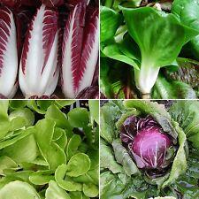 200 Samen Chicoree-Salat Blattzichorie Mantovana