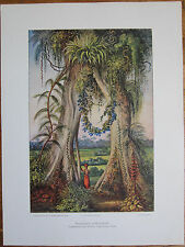 Haeckel: Large View Fig Tree Henerakgodde Ceylon Sri Lanka - 1905