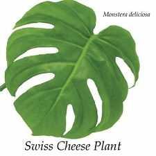~WINDOWLEAF~ MONSTERA DELICIOSA Philodendron BIG LEAFY INDOOR Potted Nice Plant
