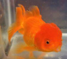 Live Fish 5.5 Inch Red Oranda Goldfish