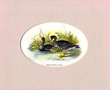 OVALE-montato Chromo Litho Bird Print-OCA LOMBARDELLA-Wyman & Sons (c1870)