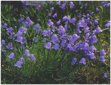 6 CAMPANULA ROTUNDIFOLIA 'HAREBELL' MEDIUM PLUG PLANTS - HP