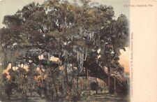 Daytona Florida~Big Tree~Steps Up Trunk Side~Spanish Moss~1906 Postcard