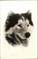 Alaskan Husky Sled Dog Close-Up c1940 Real Photo Postcard