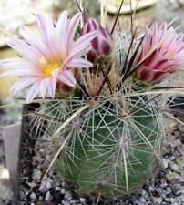 Thelocactus lausseri,seeds 10 pcs