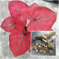 Caladium 1 Tuber Queen of the Leafy Plants /'/'Ongying/'/' Tropical From Thailand