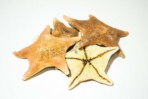 "Bat Starfish Sea Shell Beach Wedding Real Craft 3"" - 4"" (4 Pcs)"