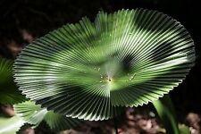 Licuala peltata var. 'sumawongii' rare palm 1 gal