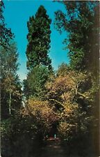 Chrome Postcard CA F035 Muir Woods National Monument Mill Valley Redwoods