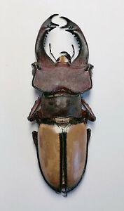 Lucanus leatus 51mm Sichuan 8009