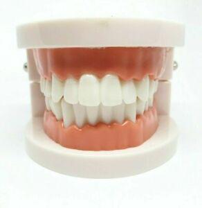 Adult Dental Standard Teaching Educational Typodont Demonstration Teeth Model