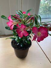 Adenium Obesum Anouk (Pink)
