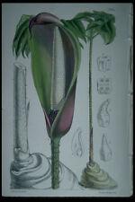 394091 anchomanes difformis hookeri A4 papier photo