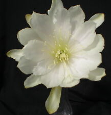 "Epiphyllum, Orchid Cactus, "" Blessed Event "" , Don's Quart pots"