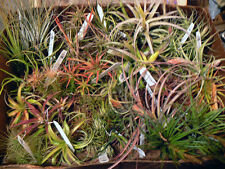 Bromeliad Tillandsia Package, at least 20 differrent, Tropical Exotic Plants