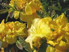 Gartenazalee Arpege Rhododendron luteum 30-40cm Frühlingsblüher