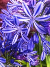 New Agapanthus Moonlight Star blue with dark stripe flowers garden plant ex 9cm