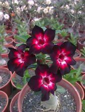 2 Rare Pink Black White Desert Rose Seeds  Adenium Obesum Flower Perennial