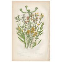Anne Pratt Flowering Plants antique 1860 botanical print, Pl 122 Cudweed