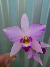 Laelia anceps Pastel Lineata orchid plant Beautiful In Bloom cattleya #58