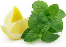 Lemon Mint Seeds for Planting | Herb Seeds | Non-Gmo