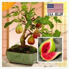 50+ Seeds Sweet Fig fruit HEIRLOOM NON-GMO Medicinal Fruits USA !