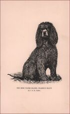Irish Water Spaniel Champion Shaun by Wesley Mills, antique print 1892
