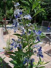 "Sky blue flowers Clerodendrum ugandense 'Blue Butterflies' tropical PLANT 4"" pot"