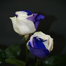 20+ BLUE & WHITE ROSE BUSH Seeds       USA SELLER SHIPS FREE