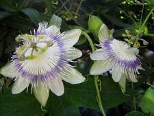 Passiflora eichleriana 10 seeds