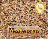 """100 Live Large 1"""" Mealworms  *Organically Raised*  Plus 10% extra & Free Food"""