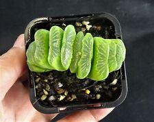 Haworthia truncata cv 'Lime Green' x 1