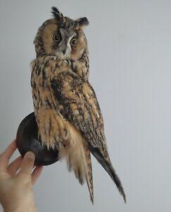 long-eared owl (Asio otus), Stuffed Bird owl, Taxidermy