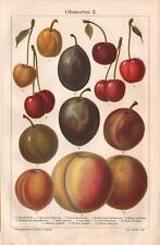1909. CHERRIES. PLUMS. APRICOTS. PEACHES. Antique litography
