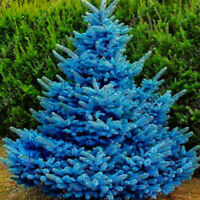 20Pcs Adaptable Colorado Sky Blue Spruce Hardy Picea Pungens Glauca Tree Seed FA