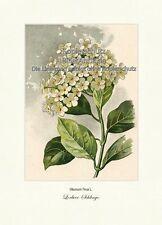 Lorbeer-Schlinge Viburnum Tinus Lorbeerschneeball Moschuskraut Vilmorin A4 344