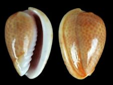 Persicula avellana - Shells from all over the World
