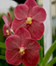 VANDA DR ANEK x KULWADEE FRAGRANCE seedling orchid plant in 100mm hanging pot