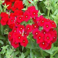 Phlox- Red (Scarlet)- 200 seeds