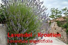 ***Lavendel - Öl, naturrein, 20ml (Kroatien), Topp-Qualität!
